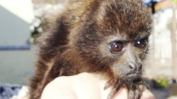 Cidade registra cinco mortes de macacos por febre amarela