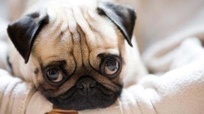 Quatro dicas para saber se o cachorro sofre com depressão