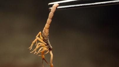 Foi picado por um escorpião? Saiba como proceder