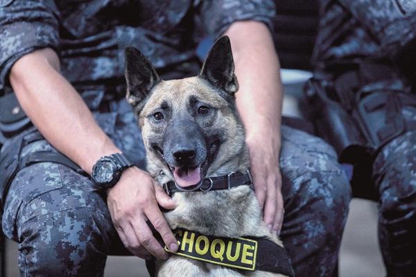Cães da Polícia Militar se destacam na apreensão de entorpecentes