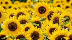 Setembro Amarelo: labirinto de girassóis em SP convida a falar sobre depressão